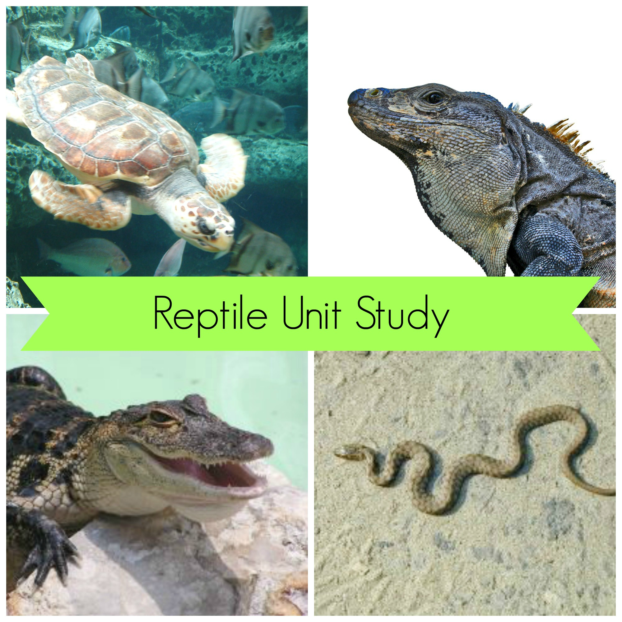 Reptile Week – featuring Wild Kratts!